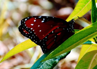 butterfly at Triple Tree Ranch
