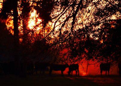 Cows at Sunset at Triple Tree Ranch