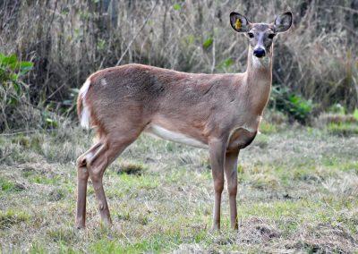Deer at Triple Tree Ranch