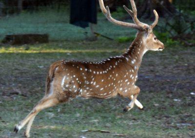 Running Deer at Triple Tree Ranch